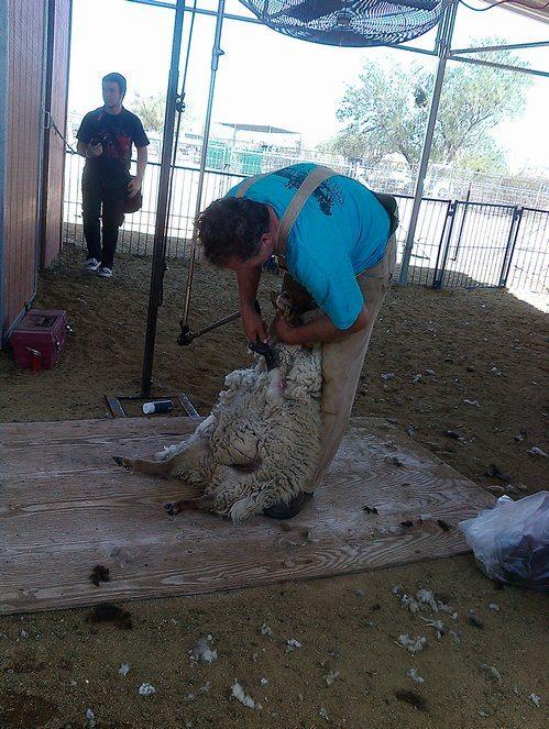 sheep fiber