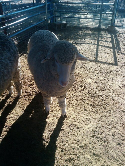 sheep Everything You Ever Wanted to Know About Wool Yarn