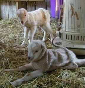crochet goat sweaters