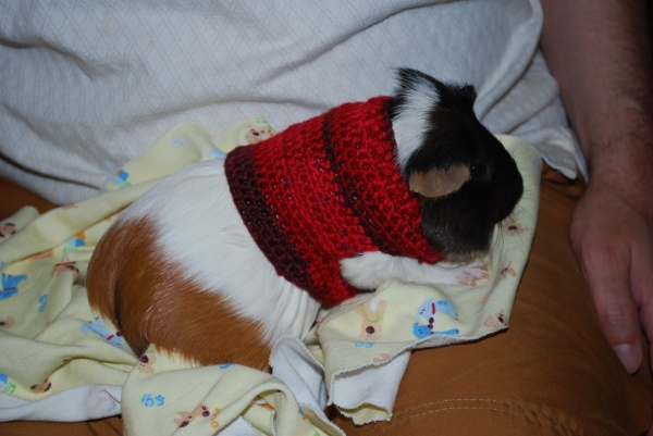 crochet guine pig sweater 600x401 10 Most Adorable Animals Outfitted in Crochet