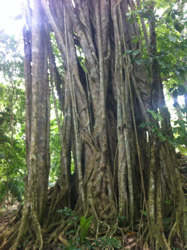 belize trees