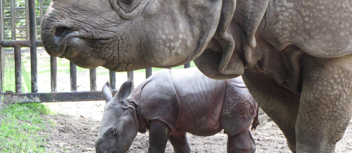 greater one-horned rhino