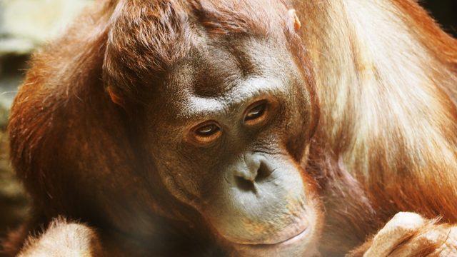 endangered species orangutan